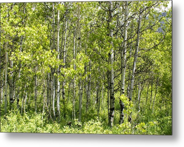 Quaking Aspens 2 Metal Print