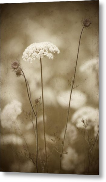 Queen Anne Lace Metal Print