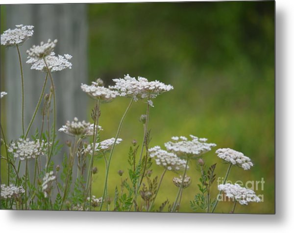Queen Anne Lace Wildflowers Metal Print