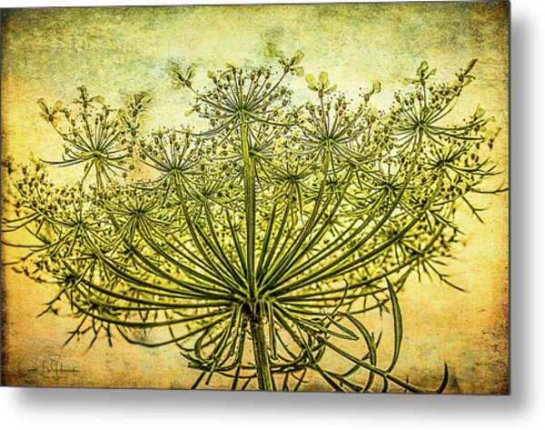 Queen Anne's Lace At Sunrise Metal Print