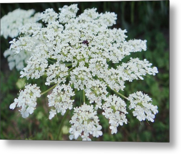 Queen Ann's Lace 2 Metal Print