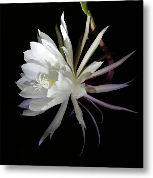 Queen Of The Night Metal Print by Robin Street-Morris
