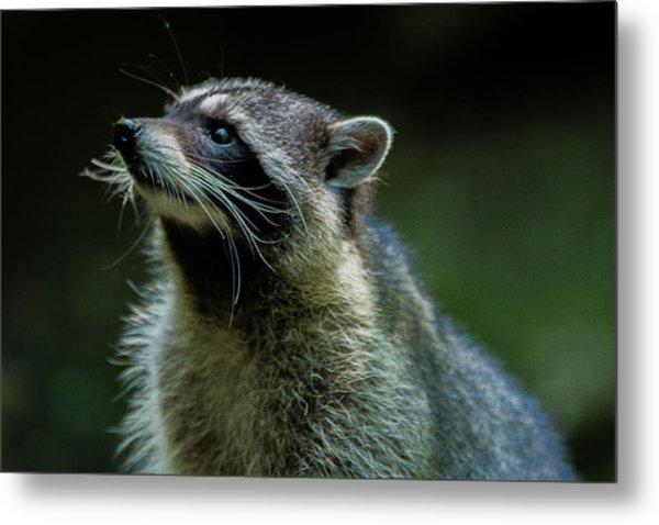 Raccoon 1 Metal Print