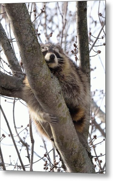 Afternoon Nap-raccoon Up A Tree  Metal Print