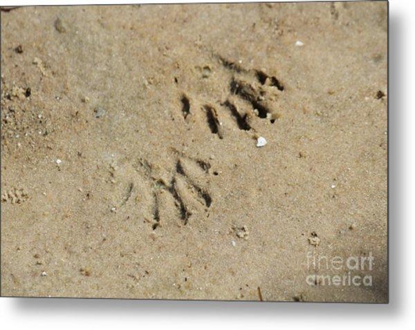 Raccoon Tracks In The Sand Metal Print