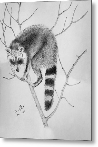 Raccoon Treed  Metal Print by Daniel Shuford