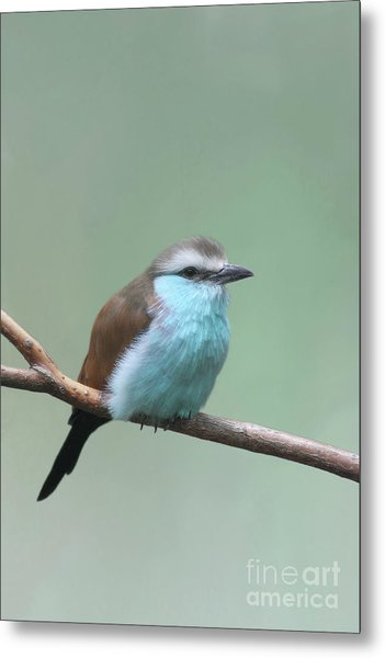 Racket-tailed Roller V2 Metal Print