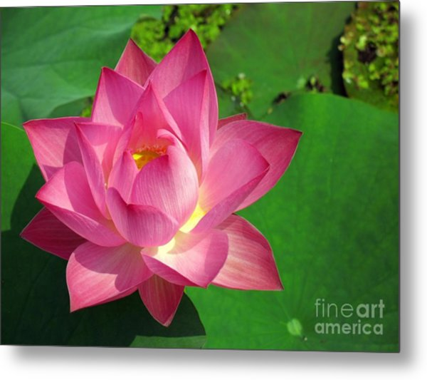 Radiant Water Lily Metal Print