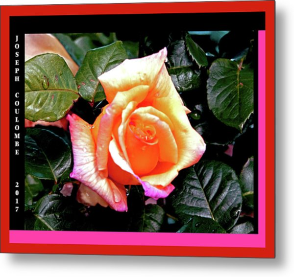 Rain Drops On A Rose Metal Print