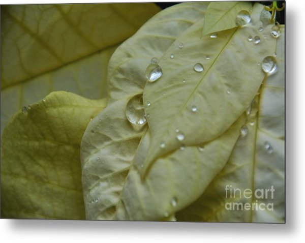 Rain Drops On A  White Poinsettia Metal Print