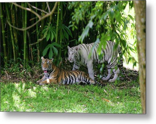Rain Forest Tigers Metal Print