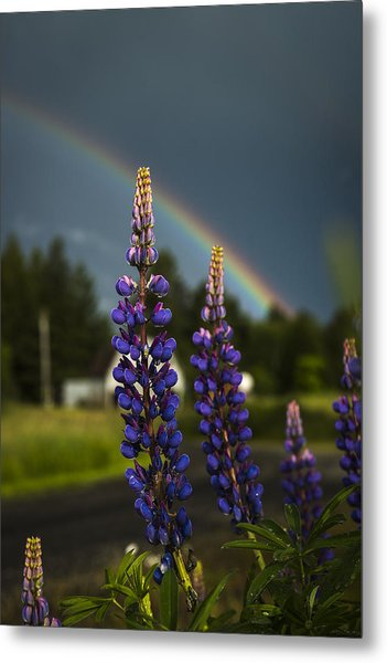 Rainbow Over Lupine  Metal Print