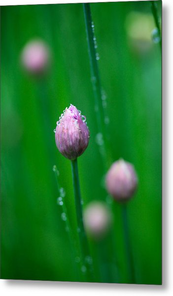 Raindrops On Chive Flowers Metal Print
