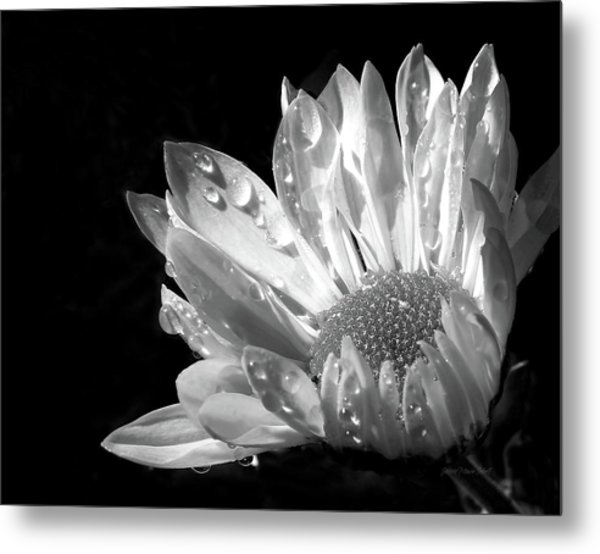 Raindrops On Daisy Black And White Metal Print