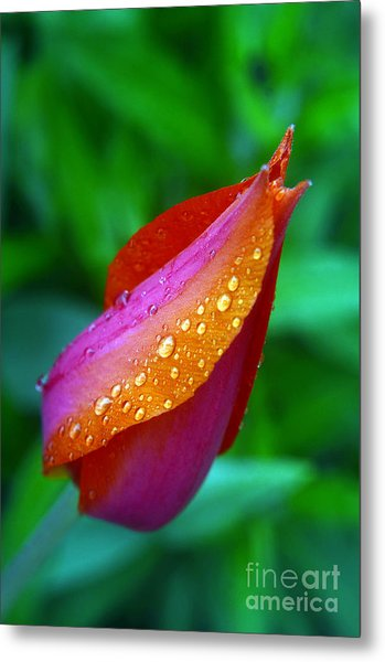Raindrops On Tulip Metal Print