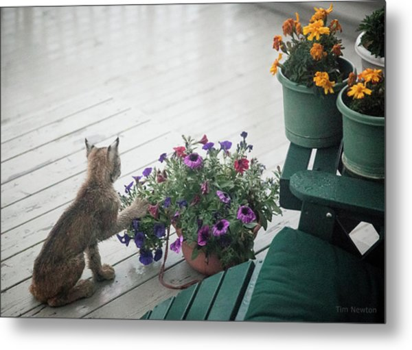 Metal Print featuring the photograph Swat The Petunias by Tim Newton