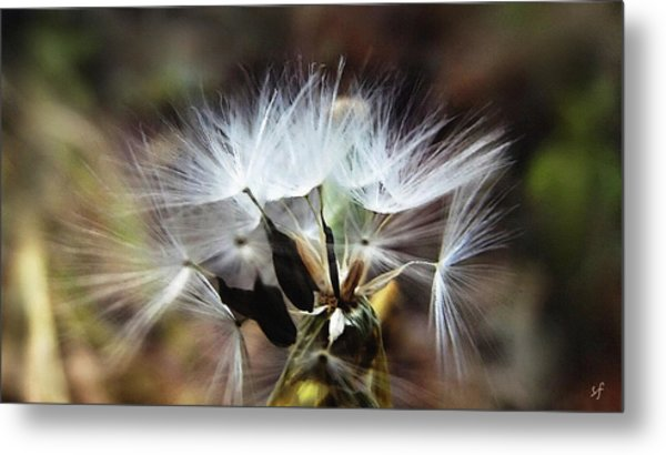 Ready To Fly... Salsify Seeds Metal Print