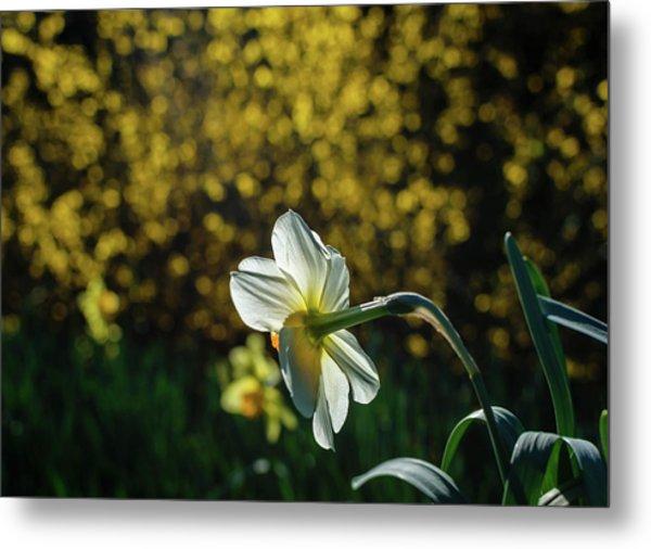 Rear View Daffodil Metal Print