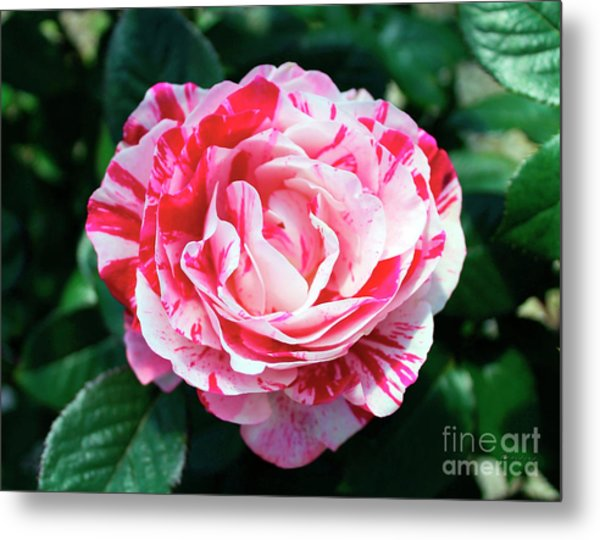 Red And Pink Floral Candy Rose Garden 490 Metal Print