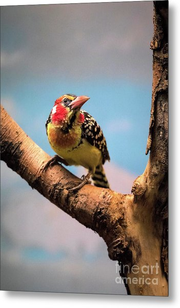 Red And Yellow Barbet Metal Print