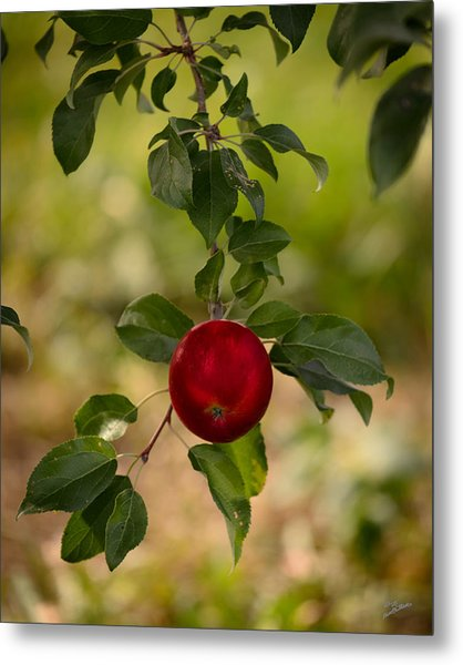 Red Apple Ready For Picking Metal Print