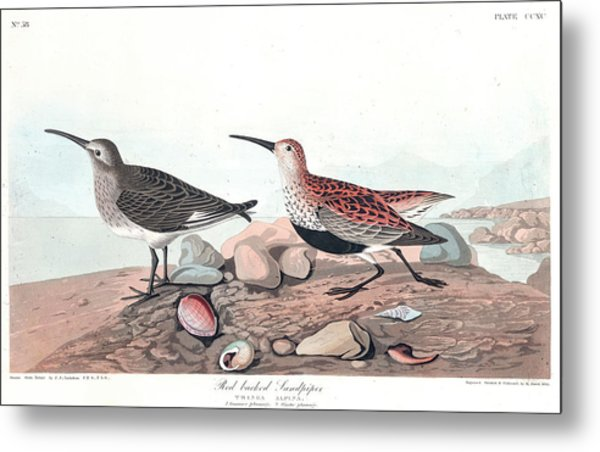 Red Backed Sandpiper Metal Print