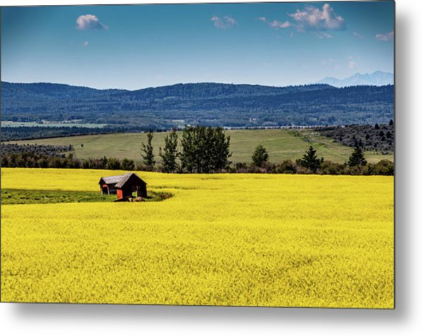 Red Barns In A Sea Of Canola Metal Print