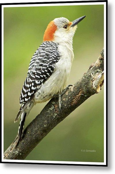 Red Bellied Woodpecker, Female On Tree Branch Metal Print