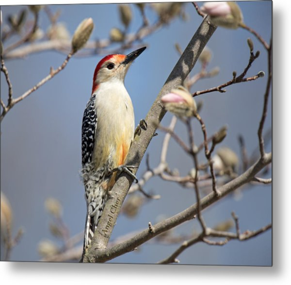Red-bellied Woodpecker On Magnolia Metal Print by Angel Cher
