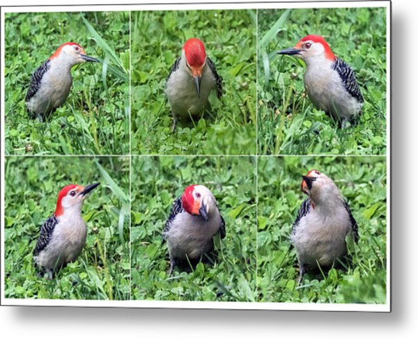 Red-bellied Woodpecker Posing In The Grass Metal Print