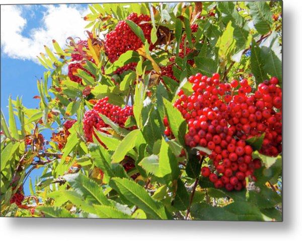 Red Berries, Blue Skies Metal Print
