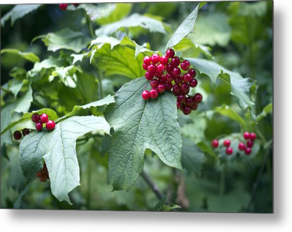 Metal Print featuring the photograph Red Berries by Helga Novelli