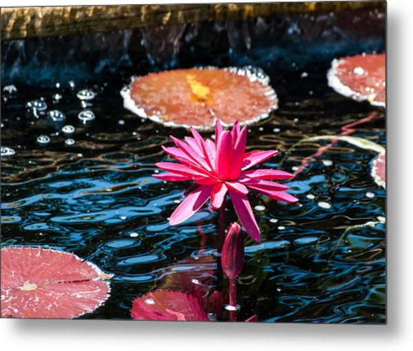 Red Blossom Water Lily Metal Print