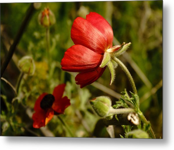 Red Buttercup Metal Print