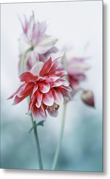 Red Columbines Metal Print