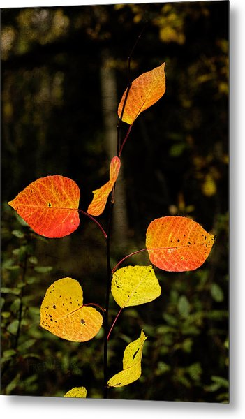 Metal Print featuring the photograph Red Cottonwood Leaves by Fred Denner
