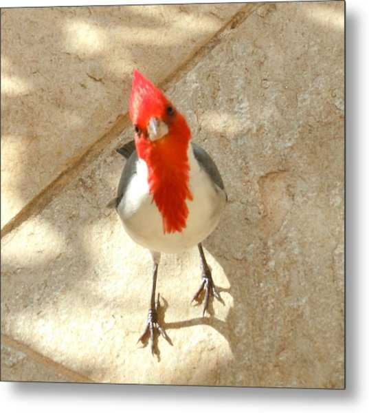 Red-crested Cardinal At My Feet Metal Print
