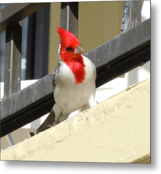 Red-crested Cardinal Posing On The Balcony Metal Print