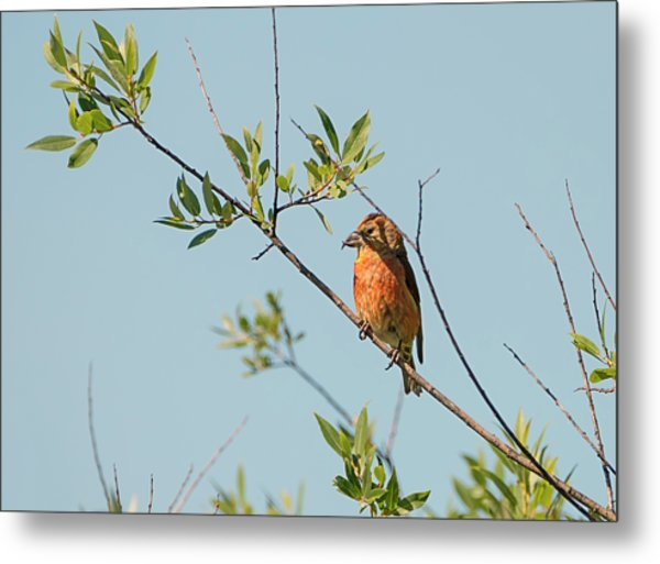 Red Crossbill Metal Print