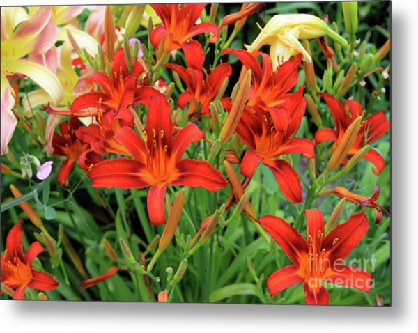 Red Daylilies Metal Print
