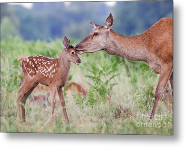Red Deer - Cervus Elaphus - Female Hind Mother And Young Baby Calf Metal Print