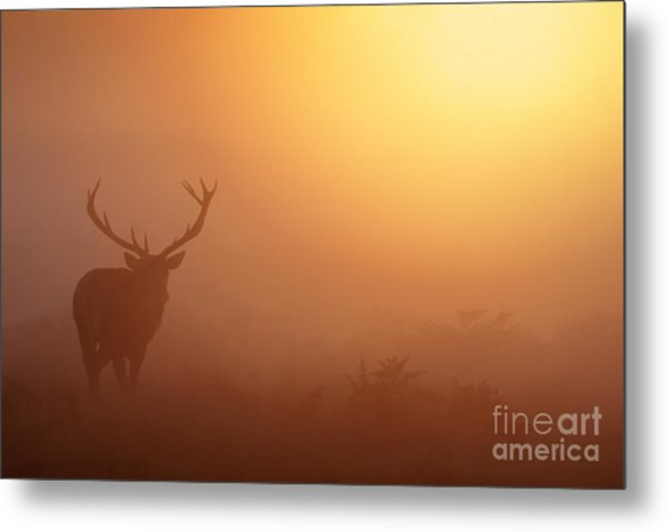 Red Deer Stag At Sunrise Metal Print