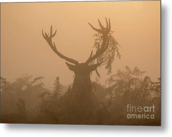 Red Deer Stag Cervus Elaphus Displaying At Sunrise With Bracken On Antlers Metal Print