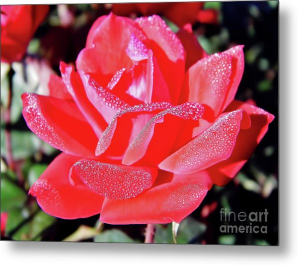 Red - Dew Covered  - Rose Metal Print