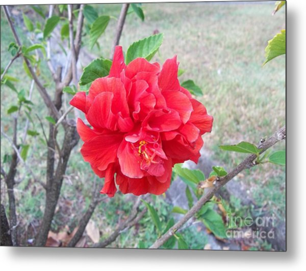 Red Double Hibiscus Metal Print