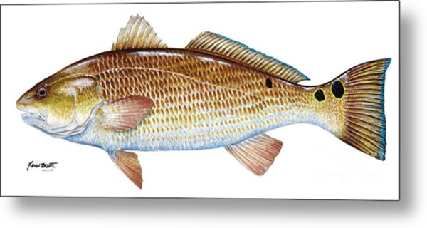 Red Drum  Redfish Metal Print