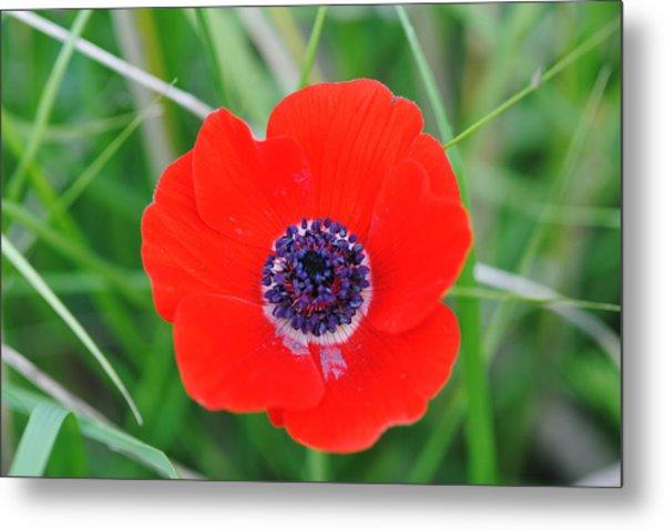 Red Anemone Coronaria 3 Metal Print