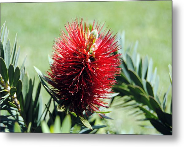 Callistemon - Bottle Brush 7 Metal Print