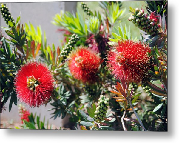 Callistemon - Bottle Brush 6 Metal Print