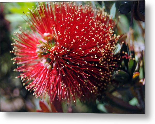 Callistemon - Bottle Brush 5 Metal Print